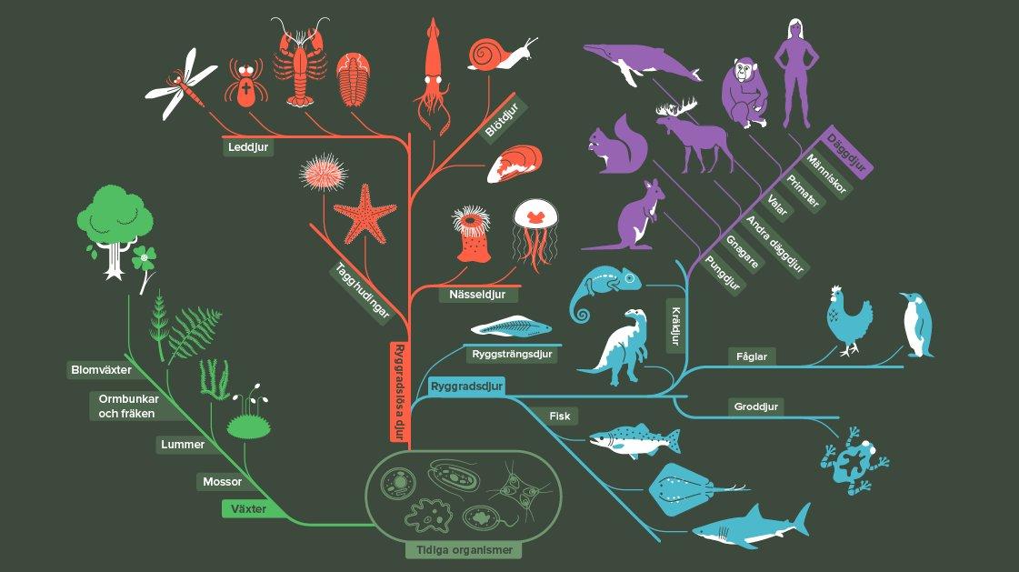 Så här har liv utvecklats från de första urcellerna. Hittar du människan?