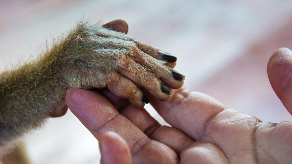 En människohand och en apas hand.