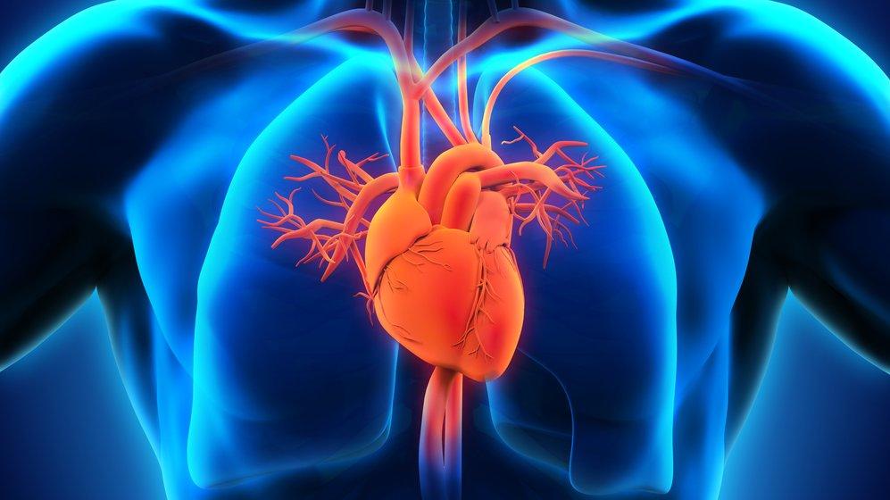 Cirkulation sker i bland annat hjärtat och lungorna.